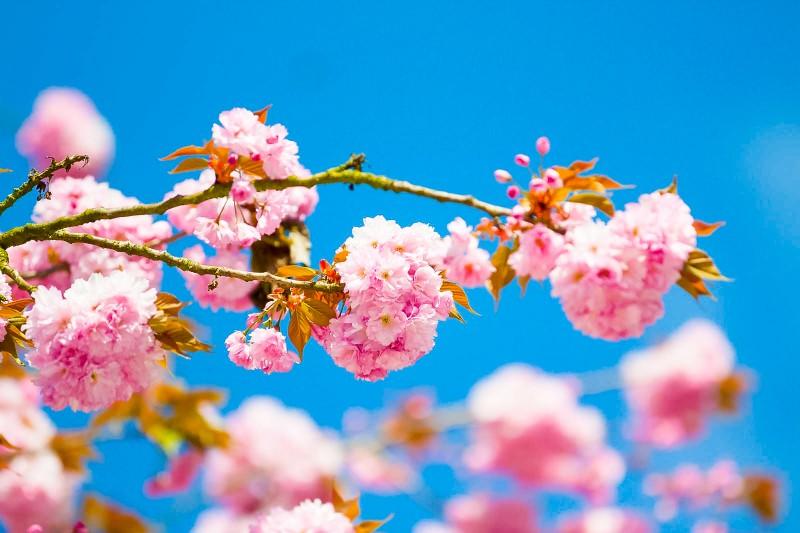 Japanse kers